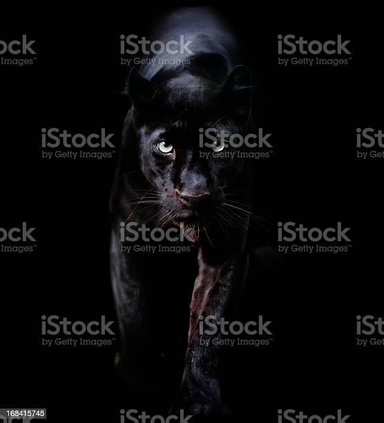 Black panther picture id168415745?b=1&k=6&m=168415745&s=612x612&h=w4vq59ygzjhwmk30fwa22zpif wojsms0f7lpjbucye=