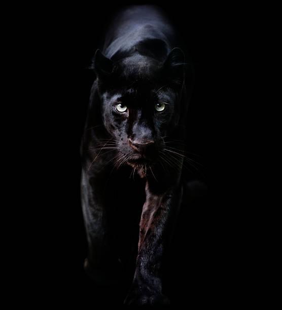 Black panther picture id168415745?b=1&k=6&m=168415745&s=612x612&w=0&h=vhtgds9jefbsdcjeljj5yskz5f7ouoapwrb74g1rt6i=