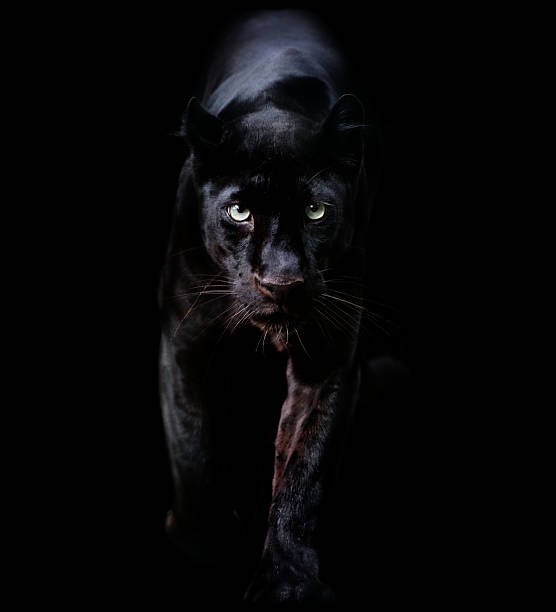 black panther a black leopard coming out of the dark animal eye stock pictures, royalty-free photos & images