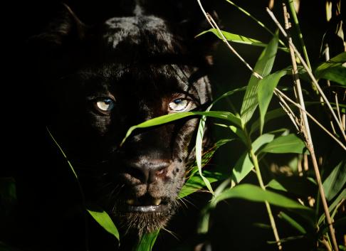 Black Panther-foton och fler bilder på Afrika