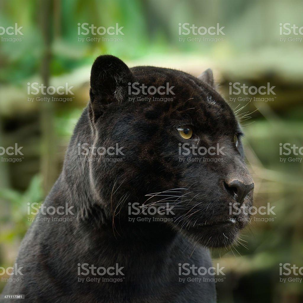 Black Panther - Royaltyfri Amazonasregionen Bildbanksbilder