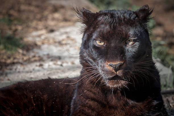 Black panther picture id473603114?b=1&k=6&m=473603114&s=612x612&w=0&h=eyifdn9q1oeek89eqrov5d3k l1hasyyh j9wvvolfm=