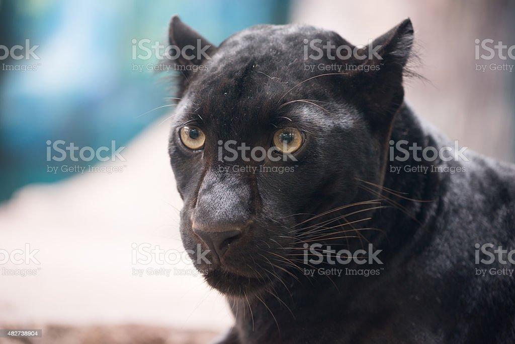 black panther - Royaltyfri 2015 Bildbanksbilder