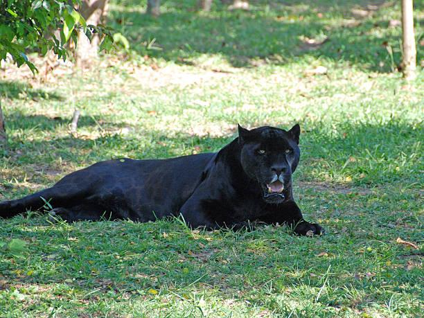 Black panther picture id487256367?b=1&k=6&m=487256367&s=612x612&w=0&h=qp zph ely om0btjm6g4bkt9h5q0q6k8ena5tccvv0=