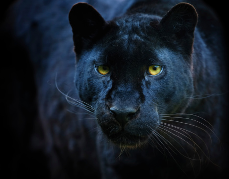 a black leopard coming out of the dark