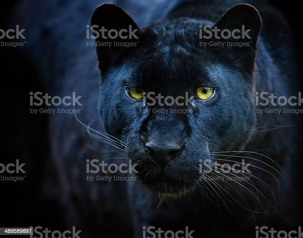 Black panther picture id489589897?b=1&k=6&m=489589897&s=612x612&h=qztvw3v4hpe4pz5m1vh37xdoohj1o1t5jlzgtq hqgo=