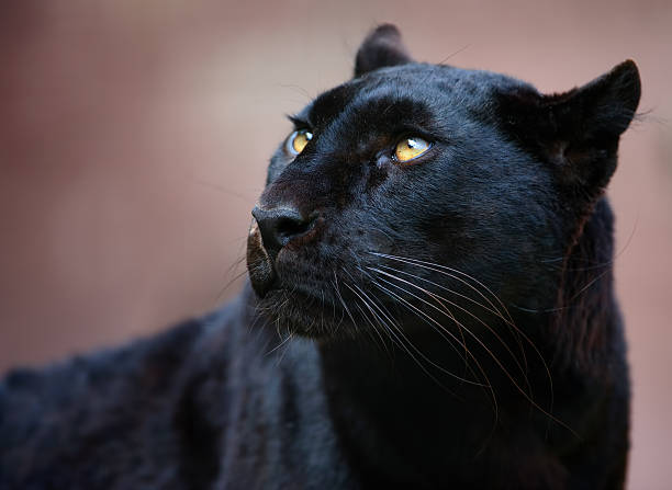 black panther - black leopard stock photos and pictures