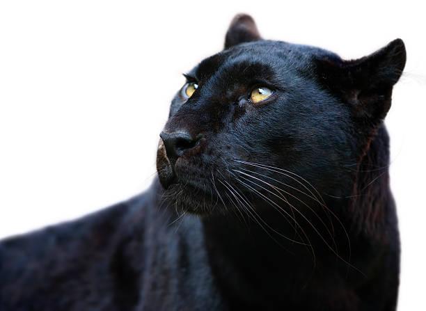 Black panther picture id489589945?b=1&k=6&m=489589945&s=612x612&w=0&h=sxpf0qpqklre2fy cgxlzmpfyquyizoicqale 808dc=