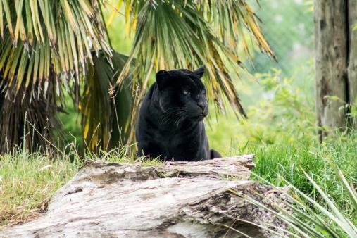 Black Panther-foton och fler bilder på Amazonasregionen