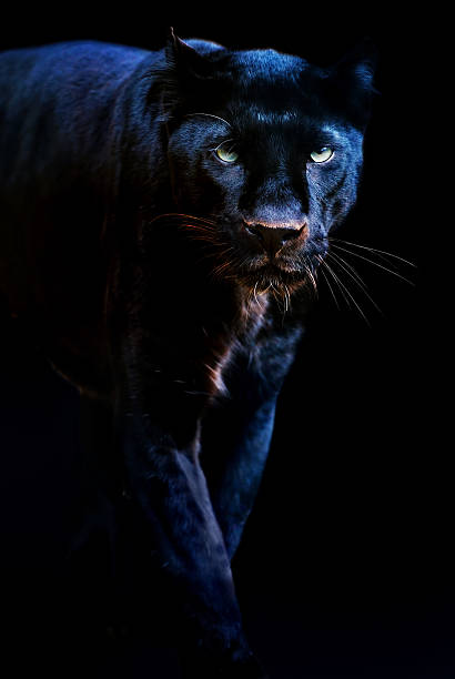 black panther - big cat stock pictures, royalty-free photos & images