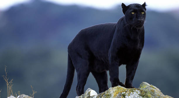 黑豹圖像檔