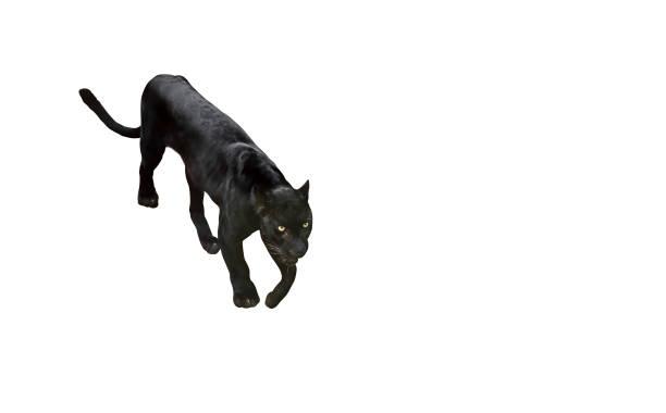 黑豹準備攻擊孤立的白色背景, 修剪路徑圖像檔