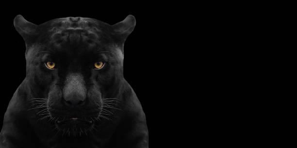 black panther coup bouchent avec fond noir - panthere noir photos et images de collection