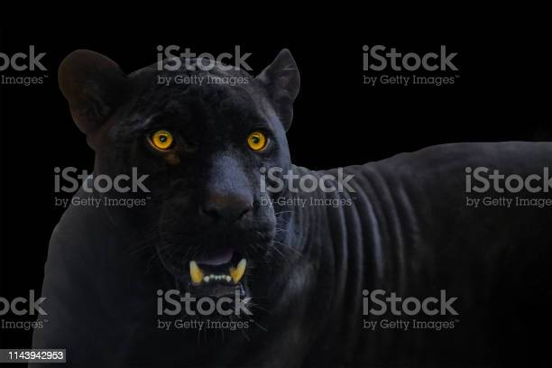 Black panther shot close up with black background picture id1143942953?b=1&k=6&m=1143942953&s=612x612&h=ocpq07dtcrm qgyuzrk zdjph7djjmcqedu9fzmj6gc=