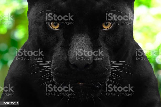 Black panther shot close up with green background picture id1006420516?b=1&k=6&m=1006420516&s=612x612&h=ai3zleq3dnejih1bnseyhv4qp9zpj uptymwtwrjplq=