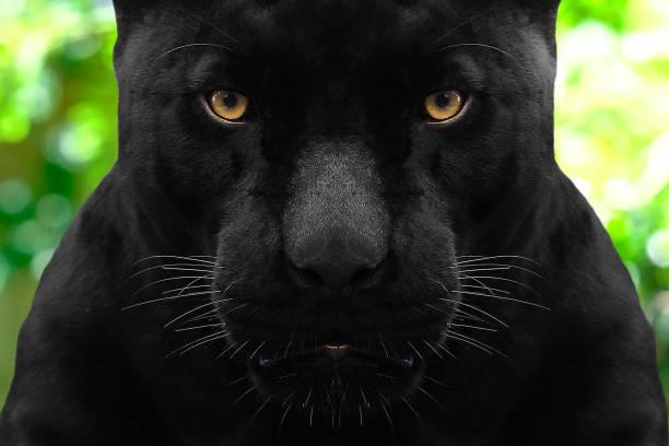 black panther shot close up with green background black panther shot close up with green background jaguar cat stock pictures, royalty-free photos & images