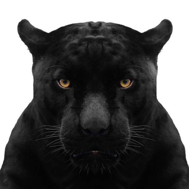black panther shot close up with white background - big cat stock pictures, royalty-free photos & images