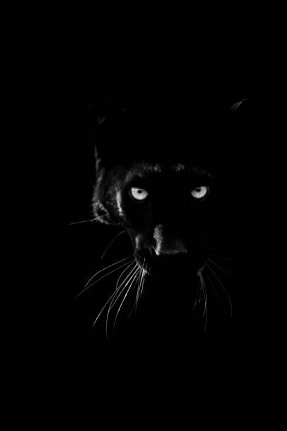 Svart panter med svart bakgrund bildbanksfoto