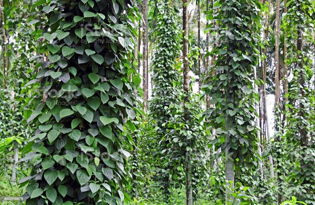 Black Pepper Plantation stock photo