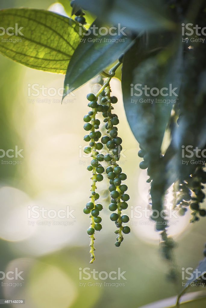 Black Pepper Vine with Immature Peppercorns stock photo