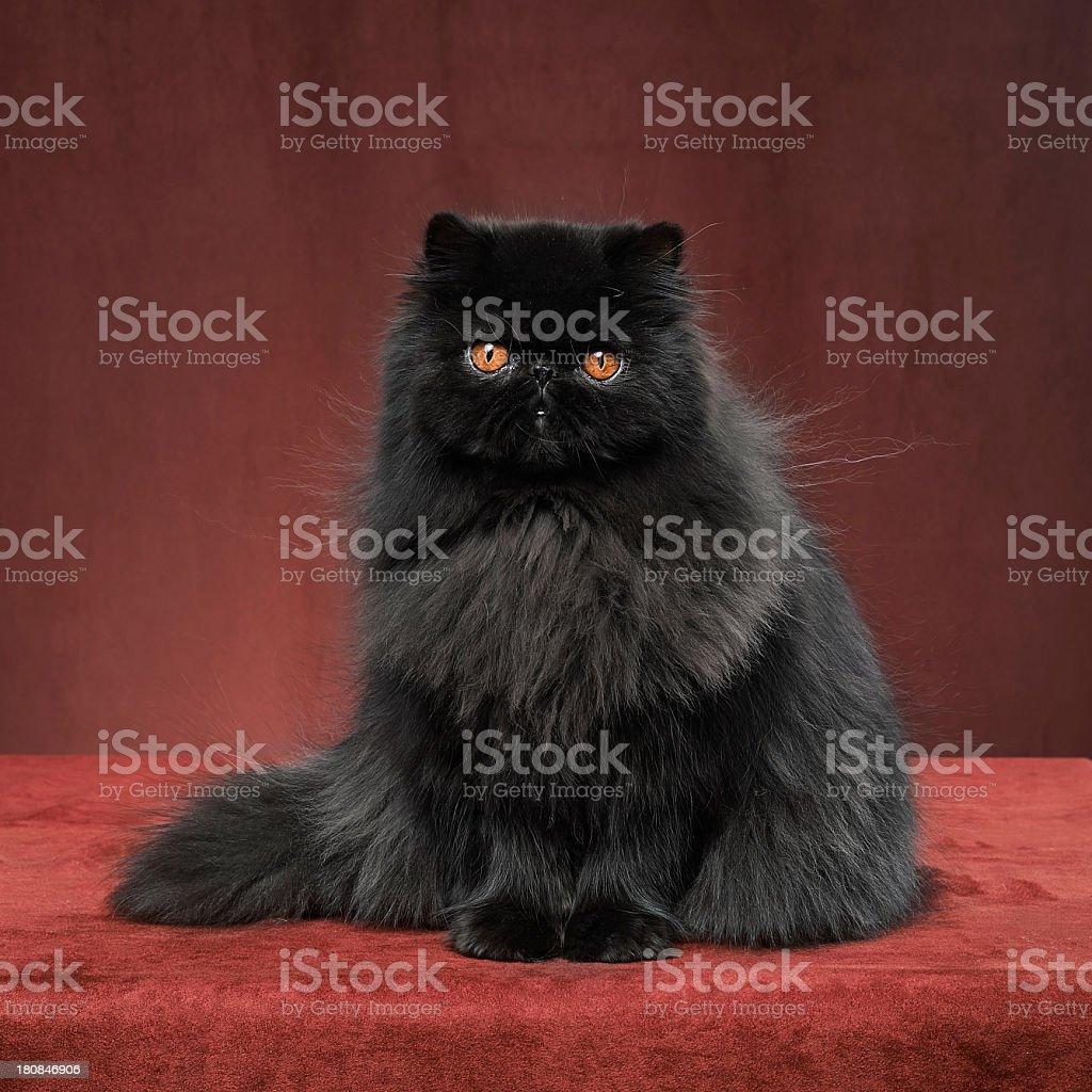 Czarny Kot Perski Stockowe Zdjęcia I Więcej Obrazów Barwne Tło