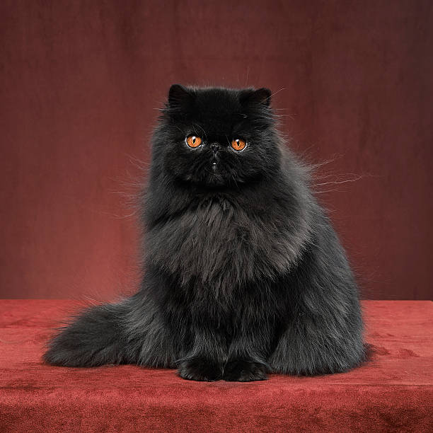 Black persian cat picture id180846906?b=1&k=6&m=180846906&s=612x612&w=0&h=9agkizal6qt6ncsyy1vefkt wxgh9b2 gg34bqgg6jy=