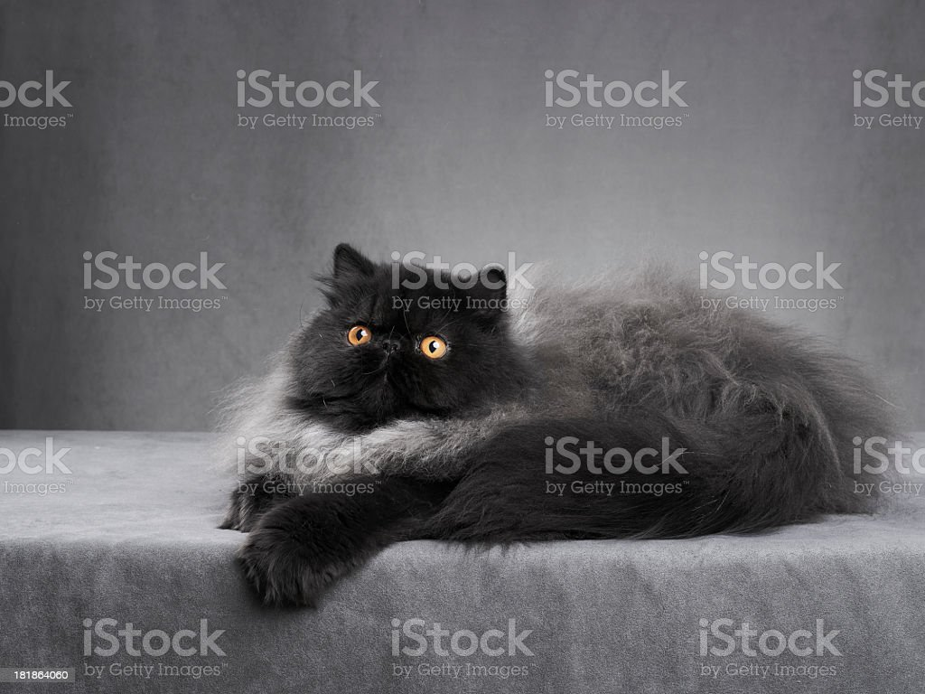 Black persian cat royalty-free stock photo