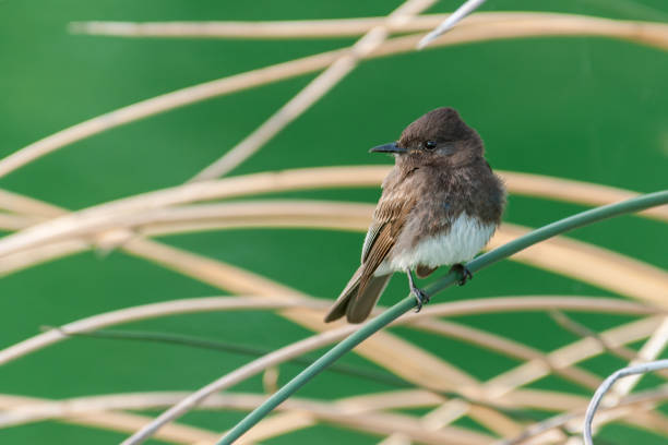 Black Phoebe Perched on a Grass Stalk stock photo