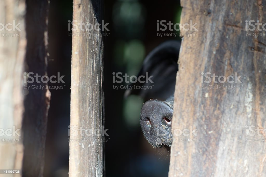 Black pig in corral try to reach nose go outside stock photo