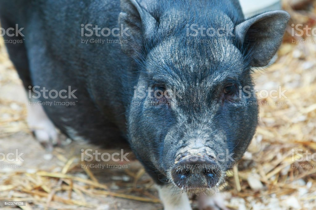 Black pig on the farm stock photo