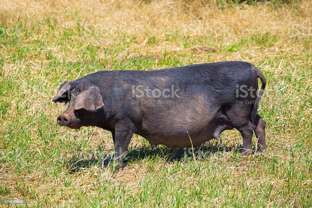 Black pig outdoor grazing in Menorca Balearic islands stock photo