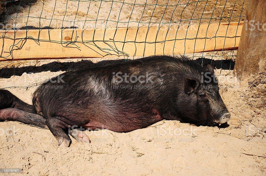 black pig royalty-free stock photo