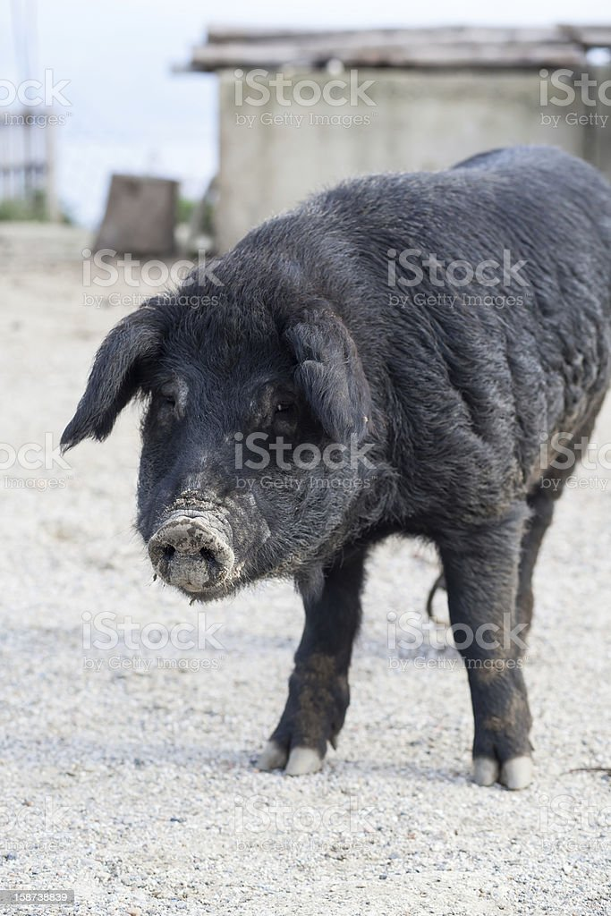 Black pig royalty-free stock photo