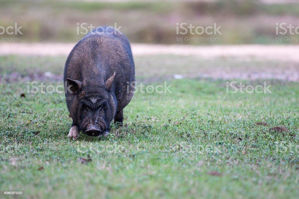 Schwarze Schwein  – Foto