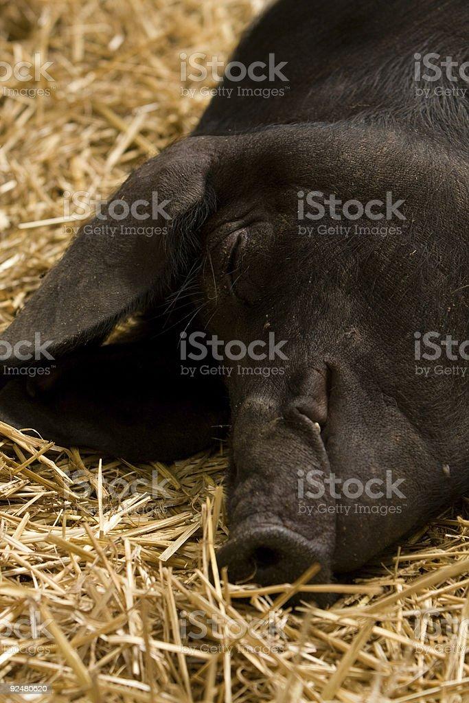 Black pig sleeping in hay royalty-free stock photo