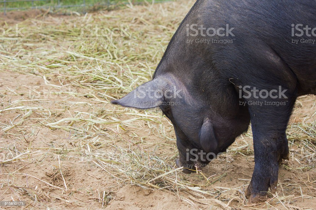 Black Pig Sniffing stock photo