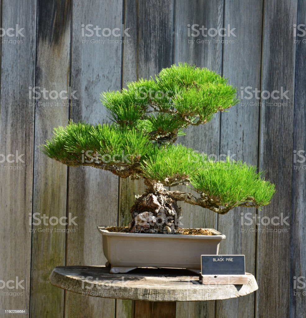 Black Pine Bonsai Tree In Los Angeles Stock Photo Download Image Now Istock