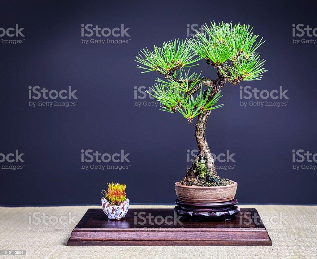 Black Pine Bonsai Tree Stock Photo Download Image Now Istock