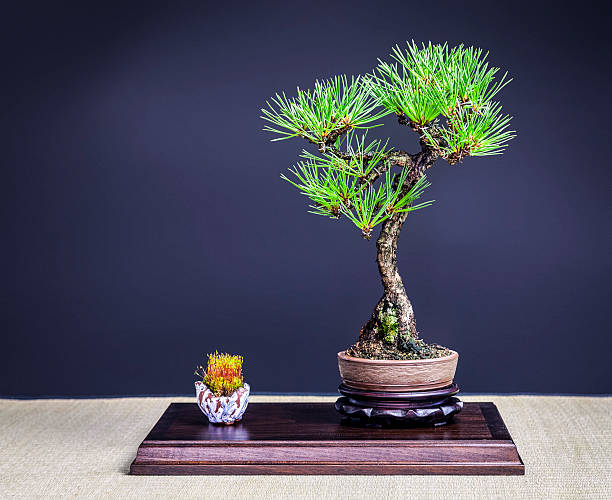 Black Pine Bonsai Tree – Foto