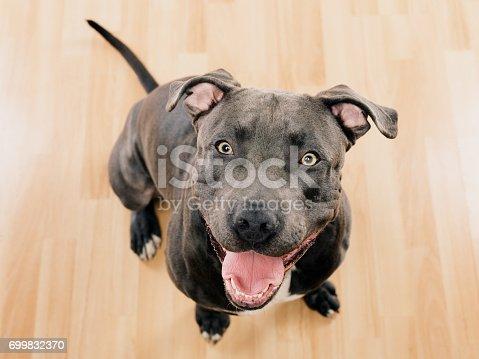 istock Black pit bull dog sitting portrait 699832370