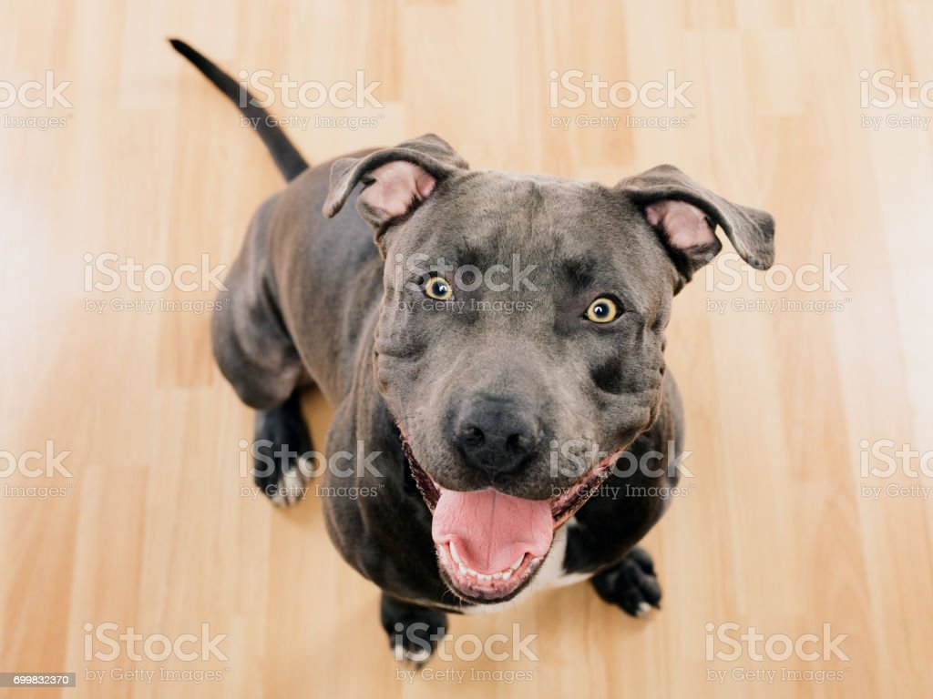 Schwarzen Pitbull Hund sitzen Porträt – Foto