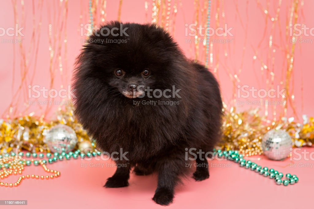 Black Pomeranian Puppy And Christmas Stock Photo Download Image Now Istock