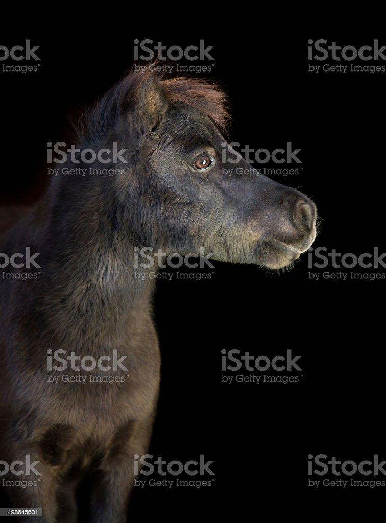 Black pony stock photo