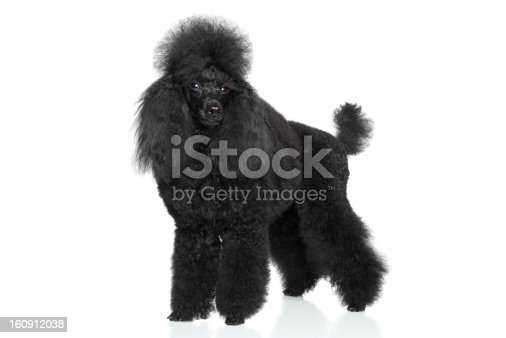 Black Miniature Poodle stand on a white background
