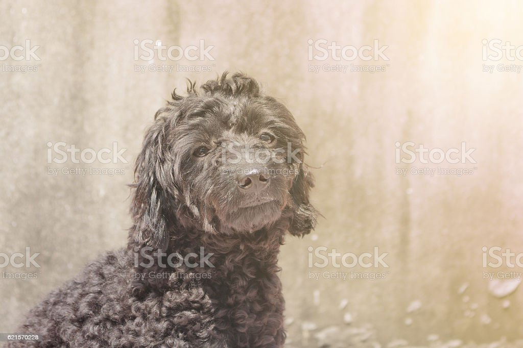 Black poodle puppy is sitting outside, making soft light. photo libre de droits