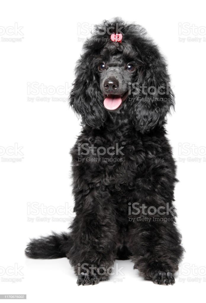 Black Poodle Puppy On White Background Stock Photo Download Image Now Istock