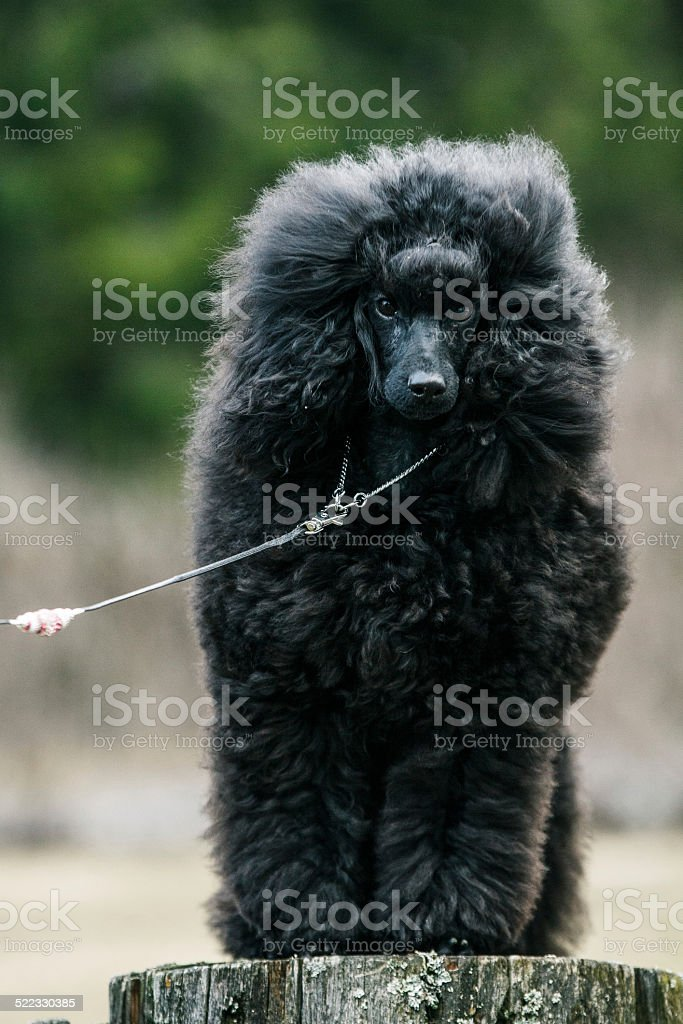Black Poodle Puppy Stock Photo Download Image Now Istock