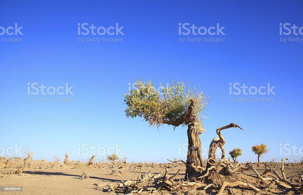 black poplars royalty-free stock photo
