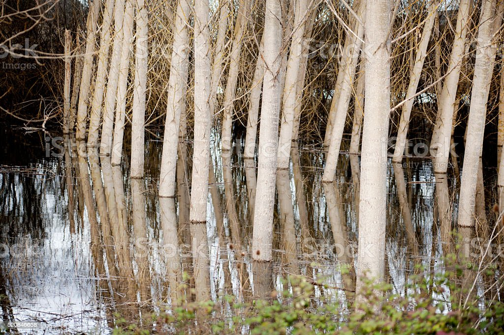 Black poplars tree trunks reflected in a flooded area. stock photo