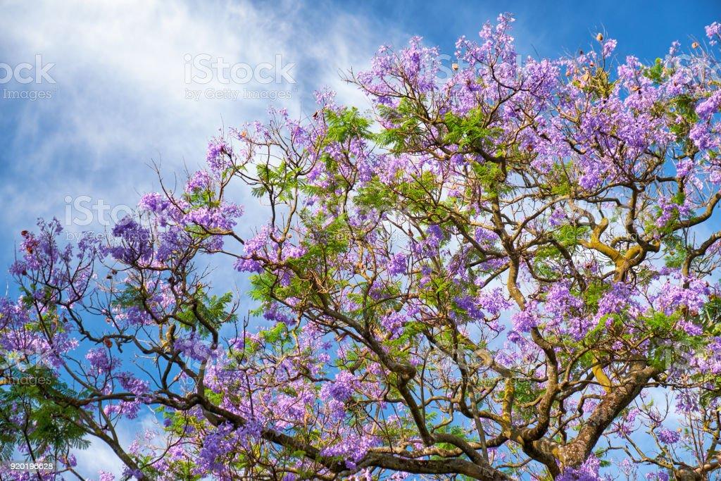Schwarzen Poui oder Jacaranda mimosifolia – Foto